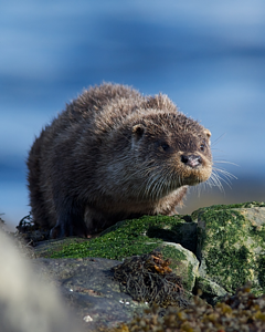 Otter (Lutra lutra) © A. M. Oldacre